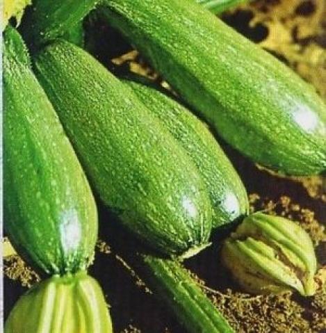 Bolognese (21 seminte), dovlecel soi renumit, Agrosem