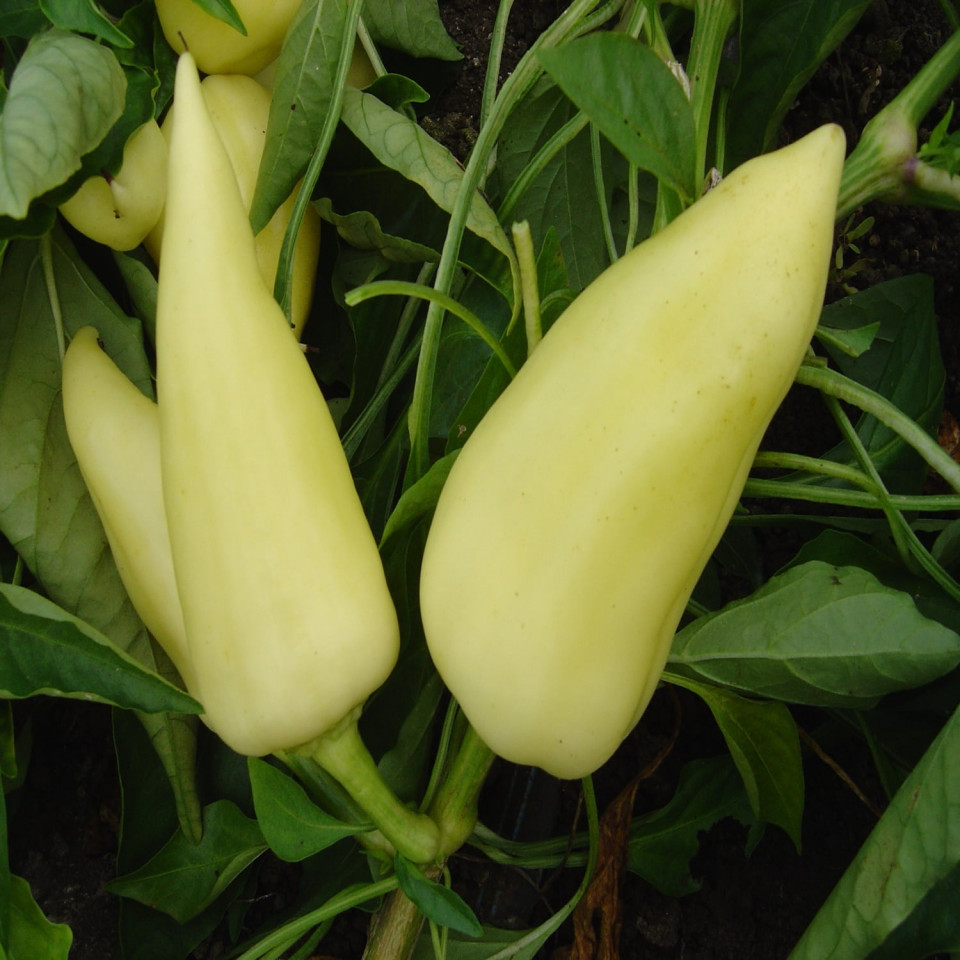 Feherozon (60 seminte) ardei gras fructe conice alb-galbui si gust dulce, Agrosem