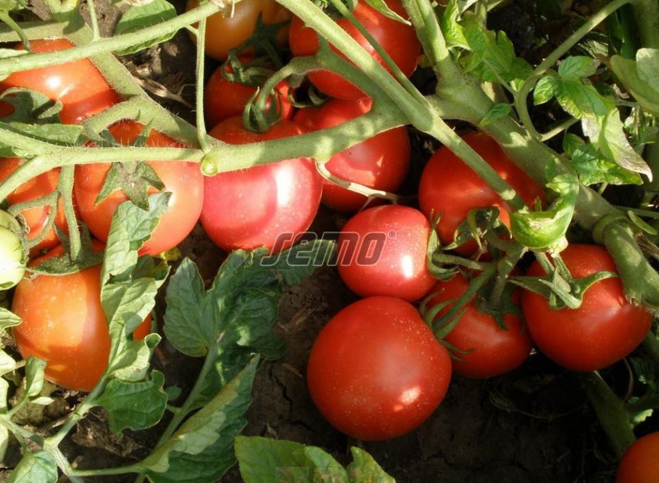 SEMAKING F1 seminte tomate (1000 sem) hibrid tomate de camp timpurii, cu fructe alungite, uniforme si coacere concentrata, planta compacta si productiva, ideal pentru procesare, Semo Cehia