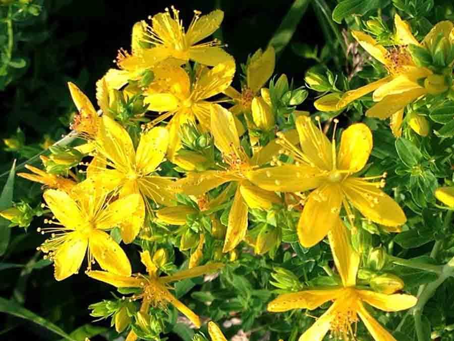 Sunatoare Medicinala (2000 seminte) de Sunatoare, Planta Medicinala, de la Opal
