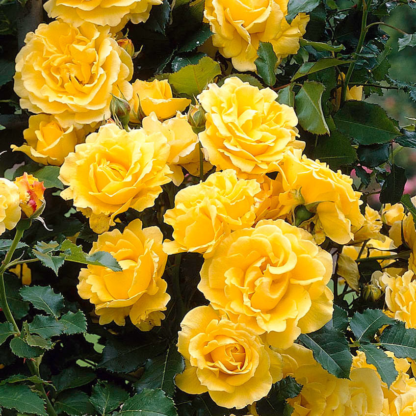 Trandafir catarator Golden Showers (1 butas), galben intens cu flori bogate, butasi de trandafiri