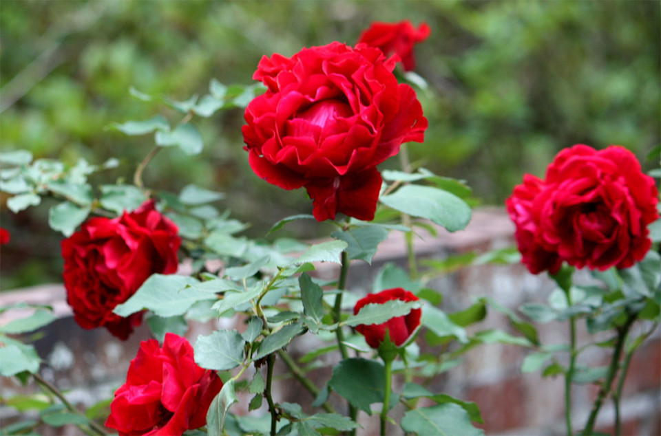 Trandafir Don Juan (1 butas), trandafir rosu inchis, catarator,butas de trandafiri