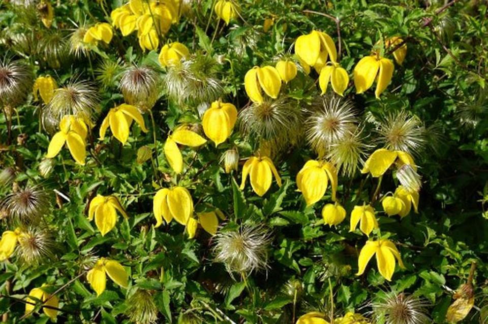 Clematita Tibetana Tangutica seminte de Clematite, tufa ornamentala cataratoare Clematis, cu flori galbene mari, in forma de clopotei, Vilmorin