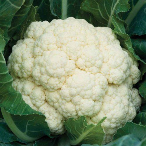 Seminte conopida Merton F1 (1000 seminte), vegetatie 80-90 de zile (fosta Malaga F1), Sakata