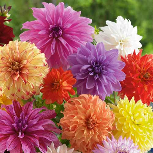 Dalie Decorativ Mixed (3 bulbi), amestec, bulbi de flori