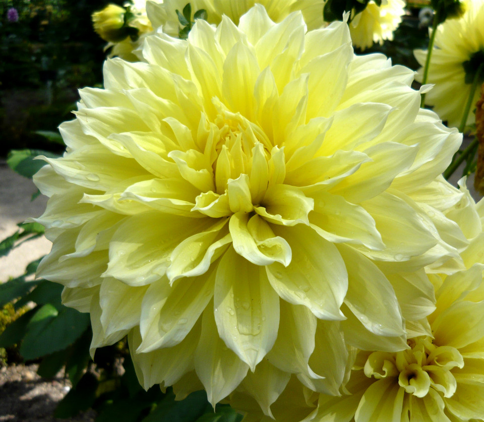 Dalie Kelvin Floodlight (1 bulb), floare galbena, bulbi de flori