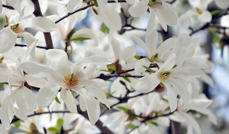 Magnolie Royal Star, arbust ornamental cu flori mari, stelate, albe, parfumate, Yurta