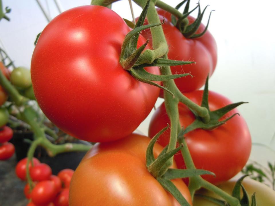 Rosii La Moneda F1 (300 seminte) tomate nedeterminate, hibrid si productie excelente, Superior Seeds