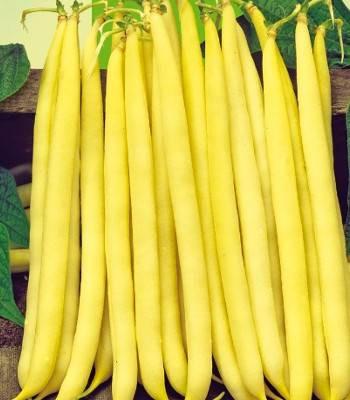 Sonesta (1 kg) seminte de fasole pitica galbena rotunda, soi timpuriu, Agrosem