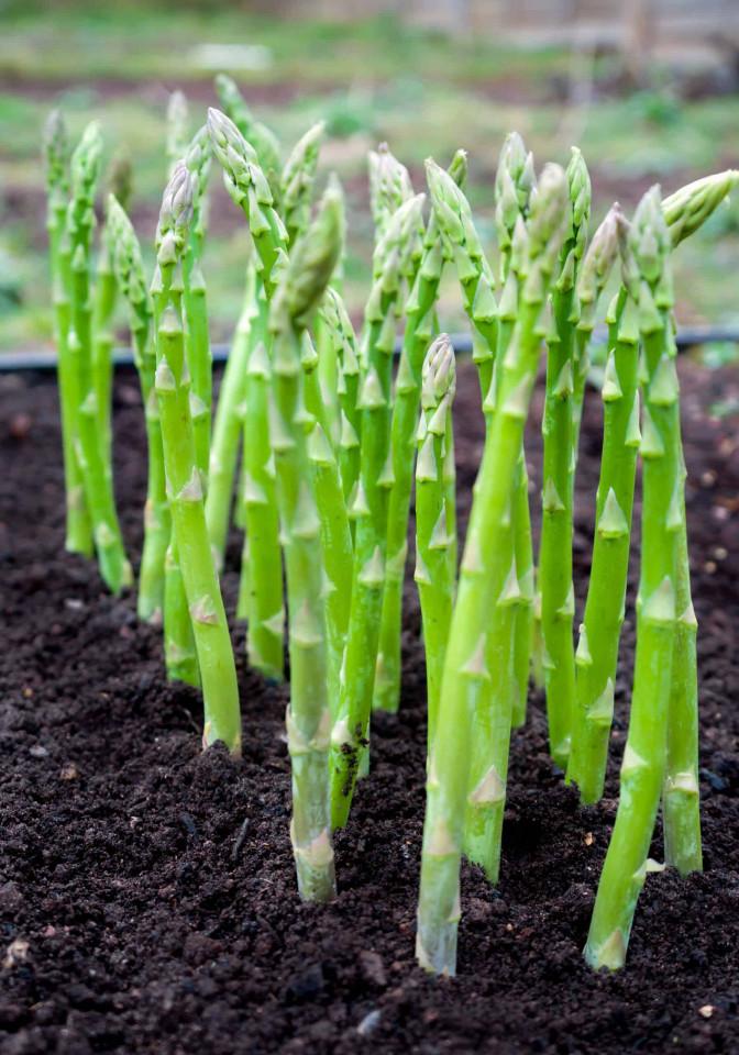 Sparanghel (40 seminte) de sparanghel soi Mary Washington, Agrosem