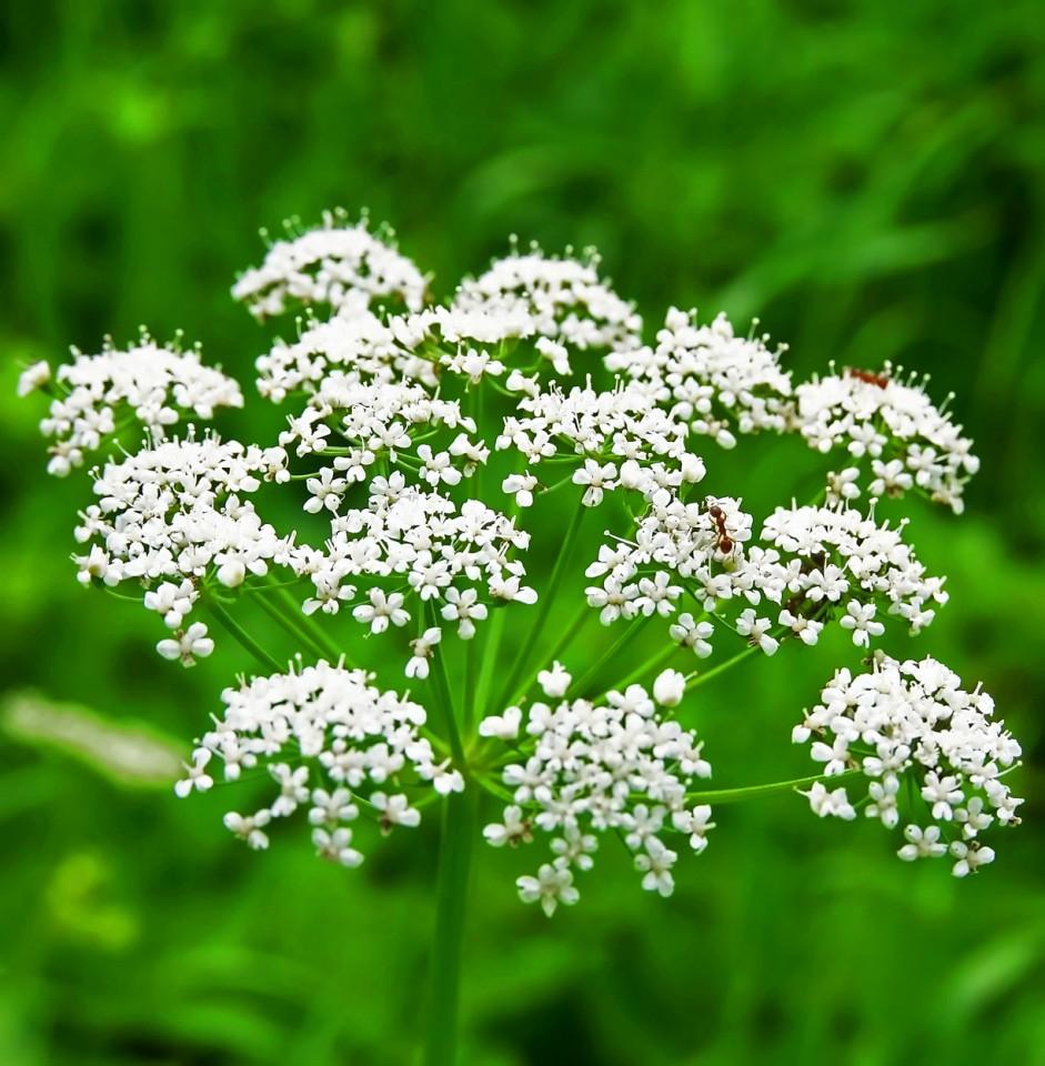 Anason Medicinal - Seminte Plante Aromatice si Medicinale Anason de la Florian