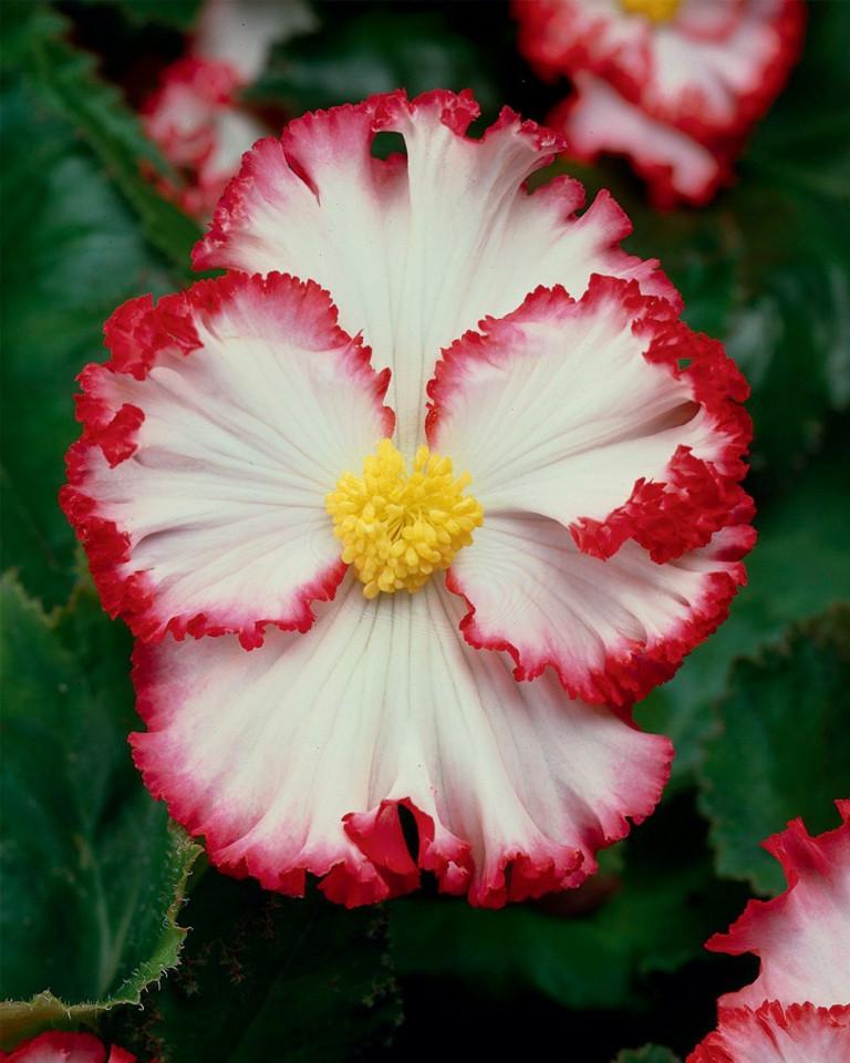Begonie Marginata White and Red (3 bulbi), floare mare, culoare alb cu rosu, bulbi de flori
