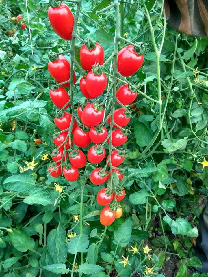 Cherry Mila (0.2 gr) Seminte Tomate Cherry in forma de prunisoare nedeterminate, Geosem