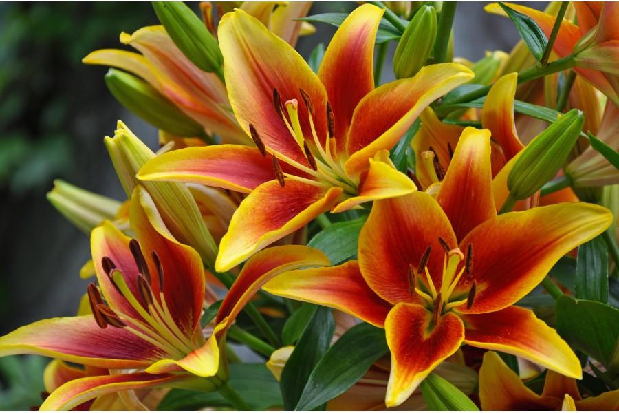 Crini Viva la vida (1 bulb), combinatie de culori galben cu rosu, bulbi de flori