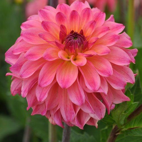 Dalie Belfloor (1 bulb), floare culoare roz, bulbi de flori