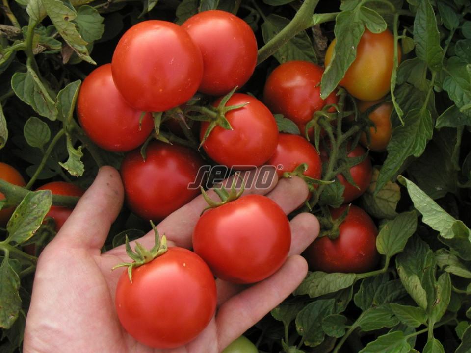 MARIENKA F1 seminte tomate (1000 sem) hibrid tomate de camp extratipurii, foarte productive, Semo Cehia