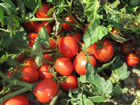 Prometey (300 seminte) de rosii determinate pantru camp, IZK Bulgaria