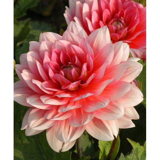 Dalie Decorative Border Pink (1 bulb), culoare roz cu alb, floare anuala, bulbi de flori