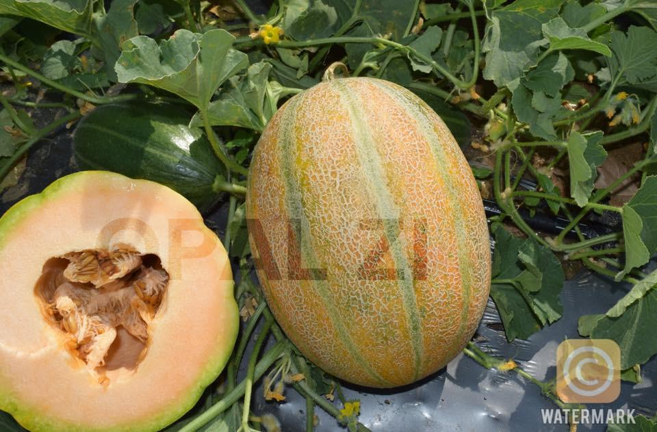 Diamant Lux F1 (250 seminte) pepene galben extratimpuriu bulgaresc, Opal