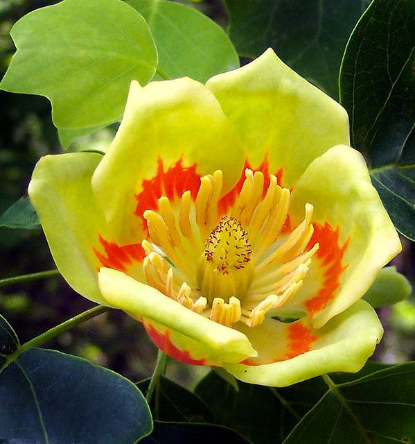 Arbore lalea seminte de arbore de lalea de talie mare originar din America de Nord, Vilmorin