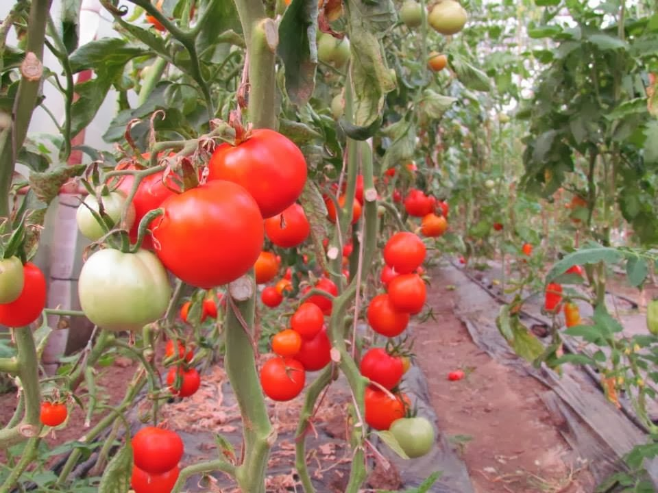 Buzau 47 (350 seminte) Seminte Tomate Romanesti Semitimpurii, Agrosem