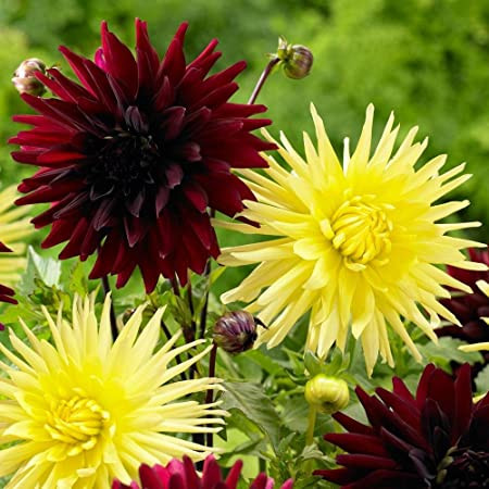 Dalie Cactus Yellow (1 bulb), floare galbena anuala, bulbi de flori
