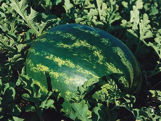 Eletta F1 (1000 seminte) de pepene verde foarte dulce, De Ruiter Seeds