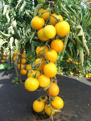Rosii galbene Romus (0.5 grame), seminte de rosii galbene soi cu crestere nedeterminata, Kertimag
