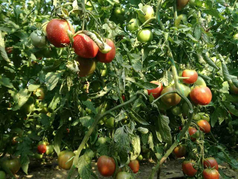 Seminte rosii Inima de bou roz gigant (1 gr), soi gigant, Superior Seeds