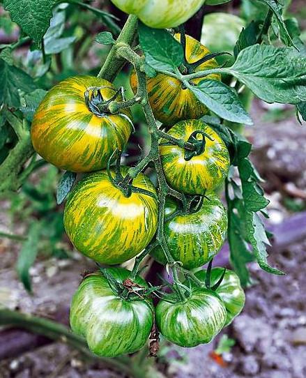 Smarald (100 seminte) tomate verzi timpurii,nedeterminate, gust deosebit, Agrosem