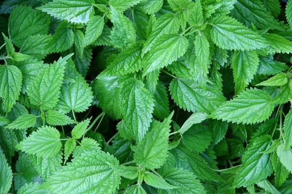 Urzica Medicinala (Urtica dioica) 0.3 gr seminte de Urzica Plante Medicinale Samanta Urzica pentru cultivare, de la Florian