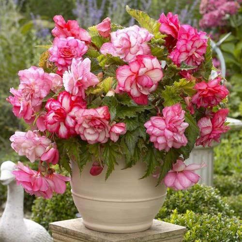Begonie Cascade Florence (2 bulbi), floare culoare roz, semicurgatoare, bulbi de flori