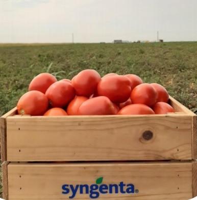 Brixtone F1 (5000 seminte) de tomate prunisoare determinate, Syngenta