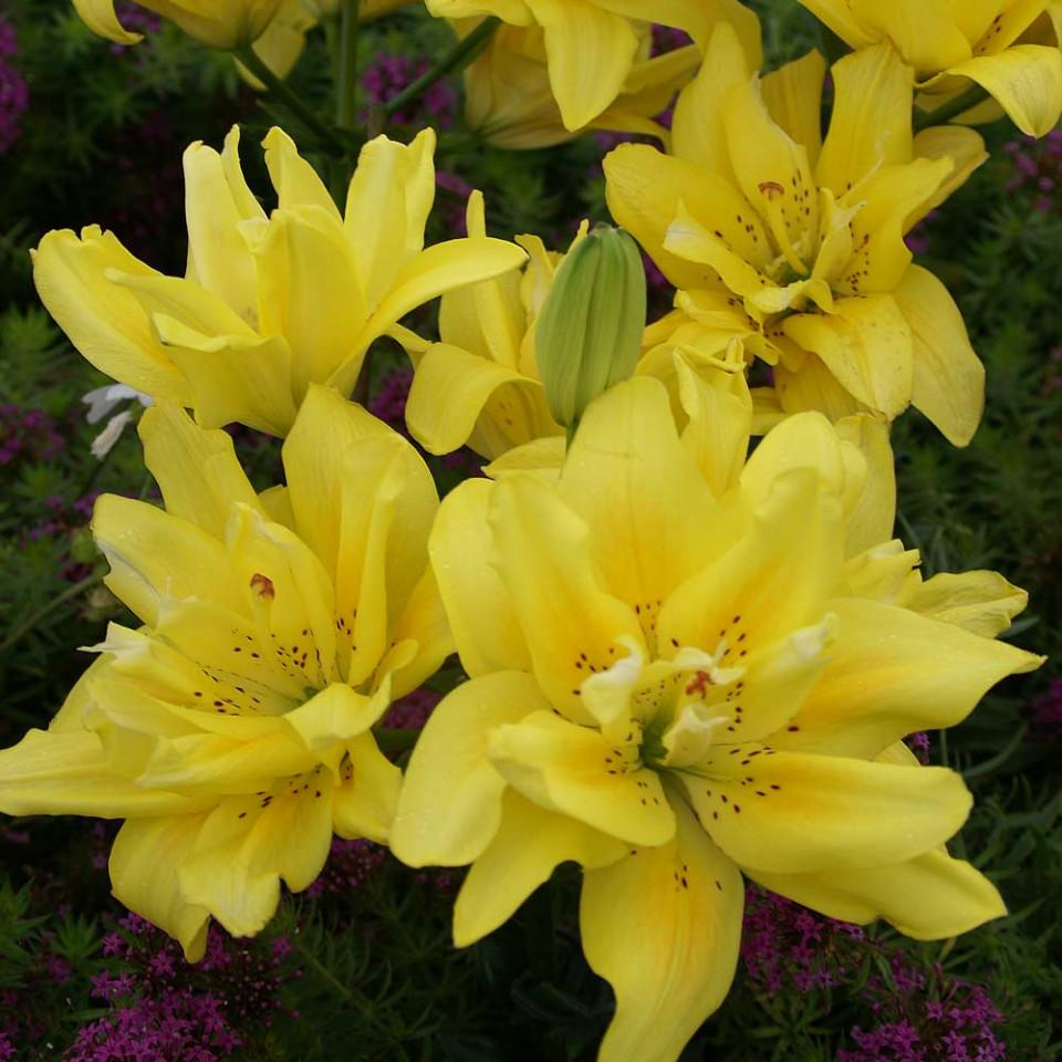Crini Fata Morgana (1 bulb) culoare floare galben stralucitor, bulbi de flori