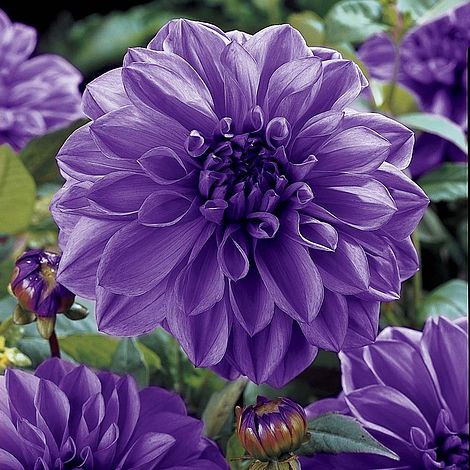 Dalie Blue Boy (1 bulb), floare culoare mov deschis, bulbi de flori