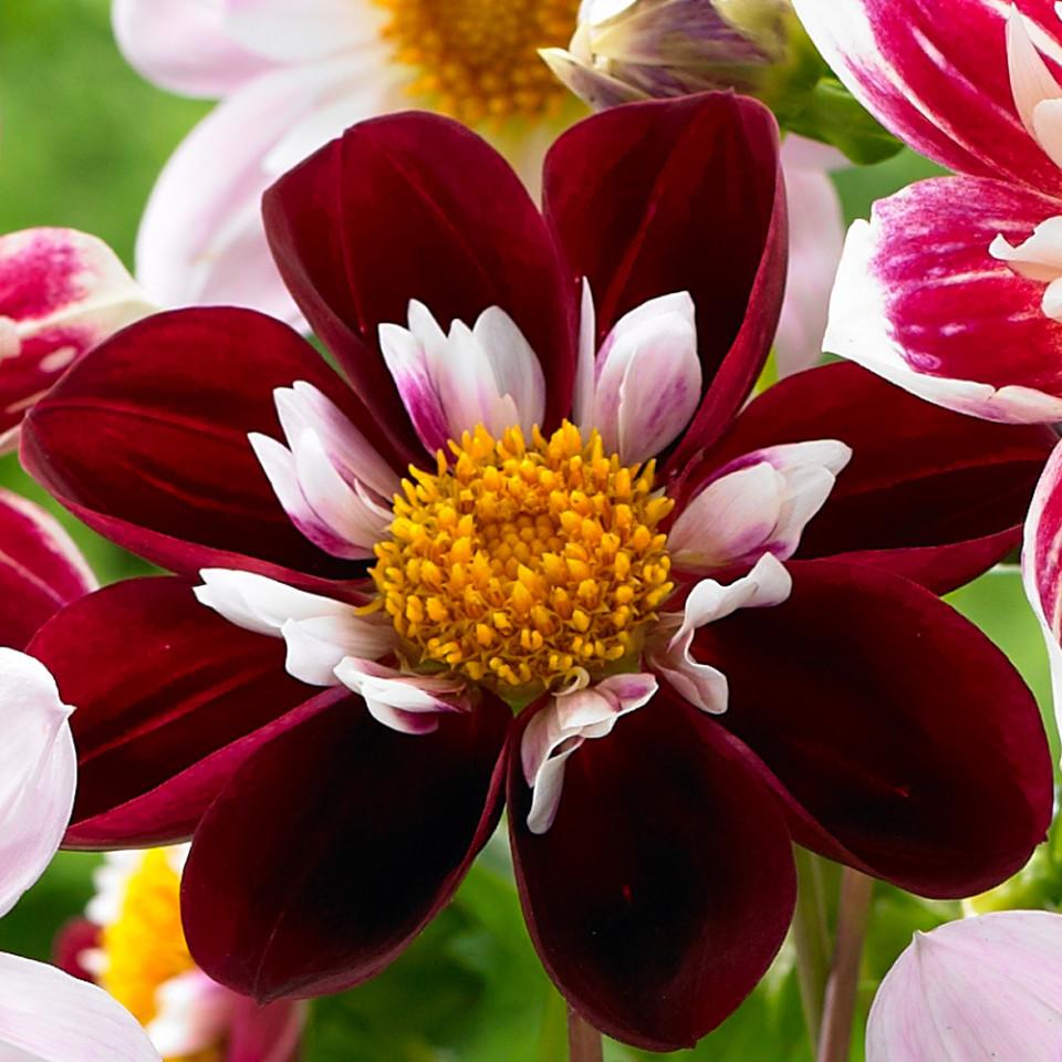 Dalie Night Butterfly (1 bulb), floare culoare visiniu cu alb, deosebit de frumoasa, bulbi de flori