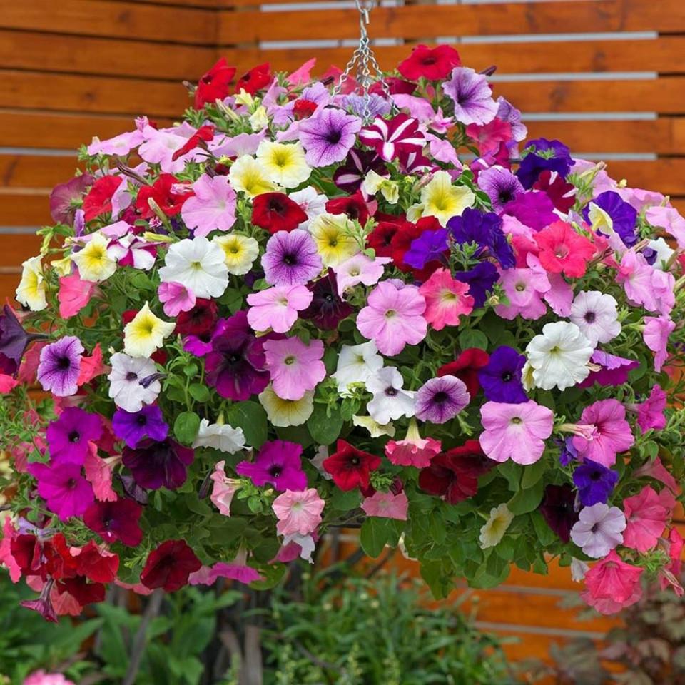 Petunie curgatoare mix (80 seminte) diversitate mare de culori, Agrosem