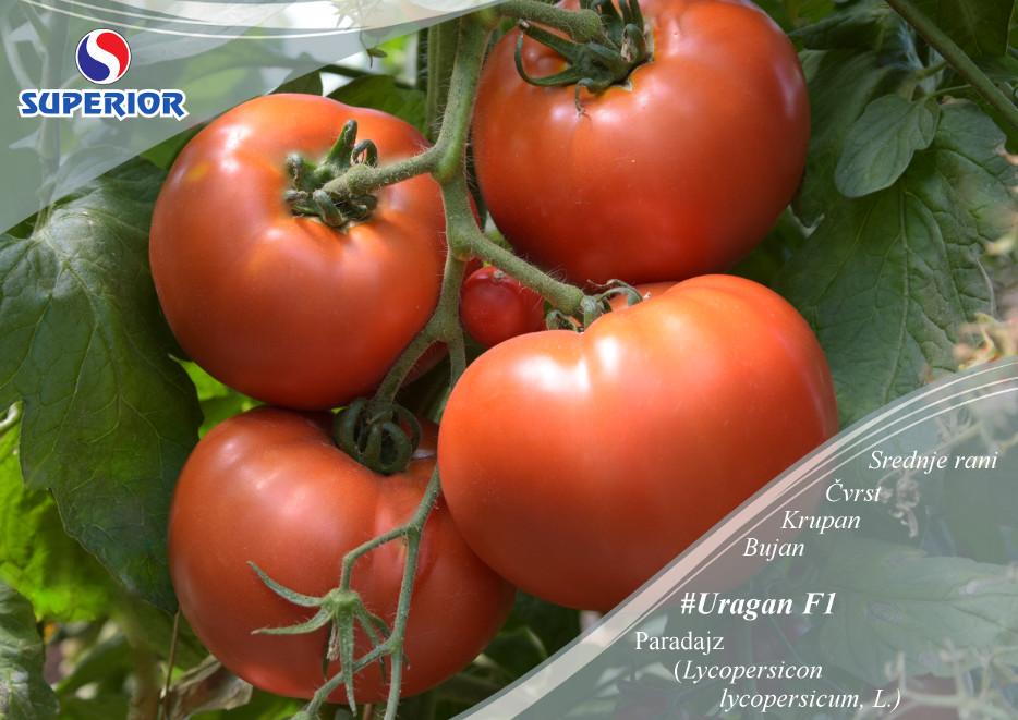 Rosii Uragan F1 SVFTm (50 seminte) tomate hibrid si productie excelente, Superior Seeds