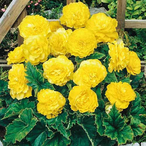 Begonie Cascade Picotee (2 bulbi), floare culoare galben, semicurgatoare, bulbi de flori