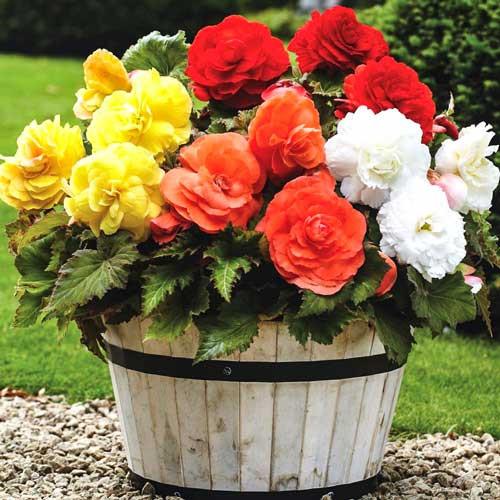 Begonie Double mixed (3 bulbi), floare mare dubla, mixtura, bulbi de flori