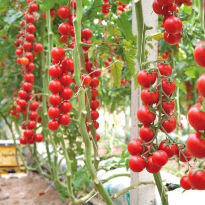 Ciliegia(200 seminte) rosii Cherry soi vechi Italian, cea mai dulce si aromata varietate, Prima Sementi
