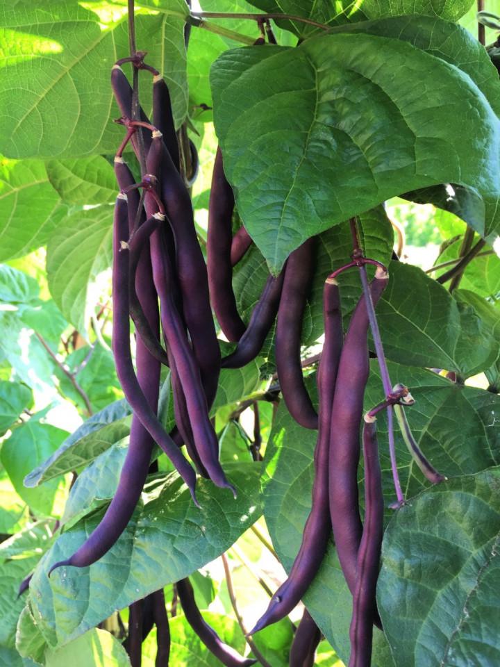 Fasole urcatoare violet Trionfo Violetto (10 gr) seminte de fasole urcatoare