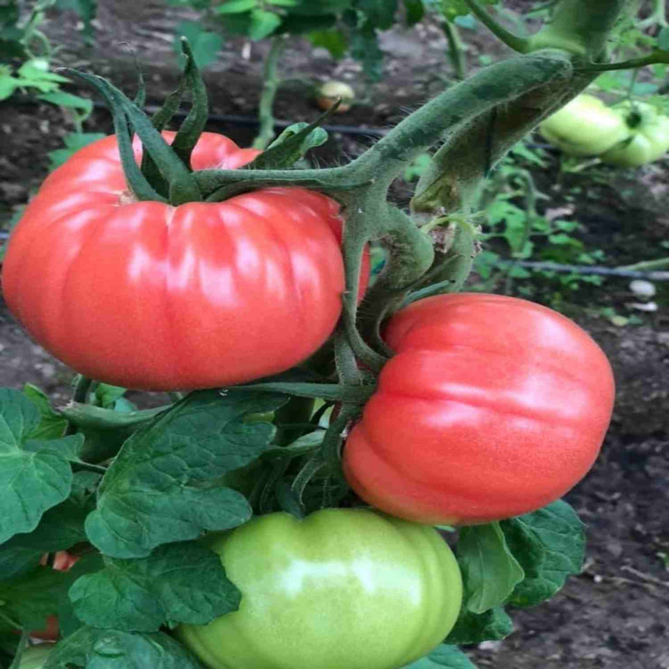 Leroxy F1 (500 seminte) de tomate roz, cu crestere nedeterminata, destinat ciclurilor lungi de cultura, Yuksel