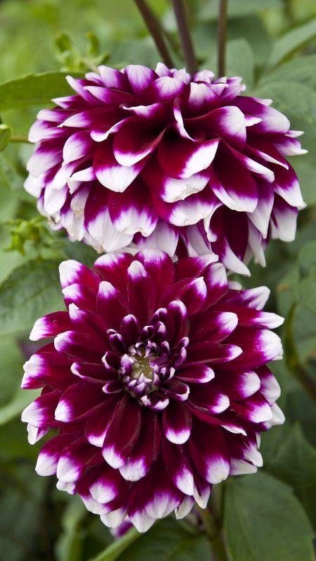 Dalie Decorative Purple and White (1 bulb), floare ciclam cu alb anuala, bulbi de flori