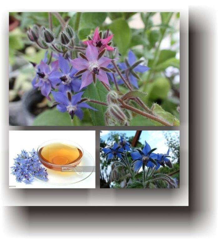 Limba mielului (2 gr) planta anuala medicinala pentru salate, decorativa, Agrosem