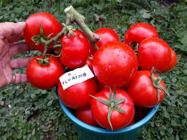 Tomate Florina 44 - 5 gr - Seminte de rosii romanesti cu crestere determinata de la SCDL Buzau