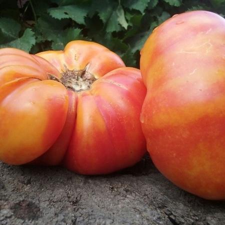 Ananas - 10 sem - Seminte Rosii Ananas de culoare atractiva Portocaliu Galben