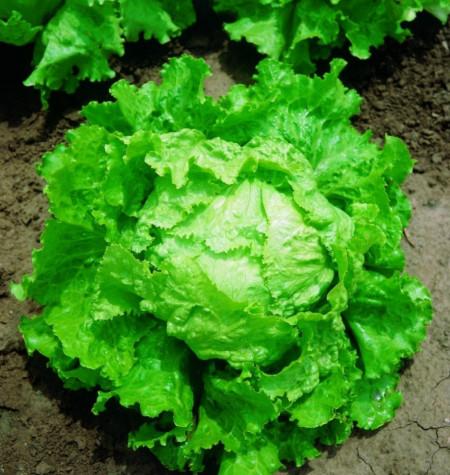 Bionda di Parigi (2 gr) seminte de salata semitimpurie tip iceberg, frunze crocante, Agrosem