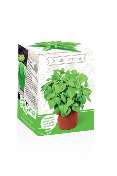 Busuioc lamaios - Kit plante aromatice