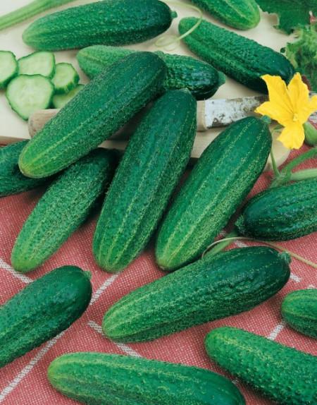 Castraveti Santana F1 (1 g), seminte de castraveti hibrid cu crestere viguroasa si pulpa crocanta, Kertimag